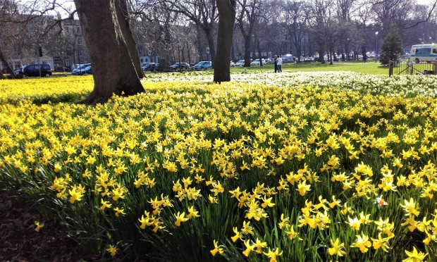 Edinburgh Meadows Daffodils