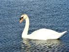 Edinburgh swan