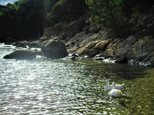 Greece swans