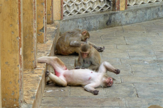 jaipur monkey temple 3