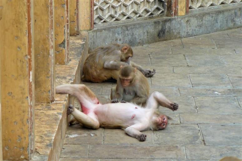 jaipur monkey temple 3