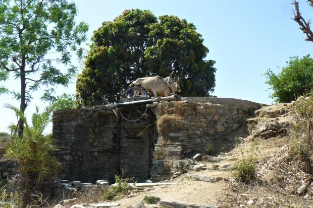 ranakpur cows 2