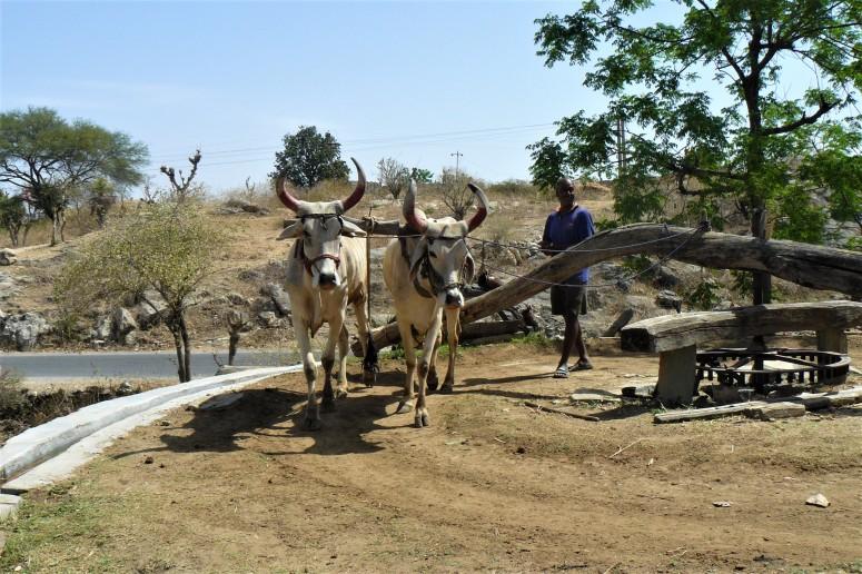 ranakpur cows