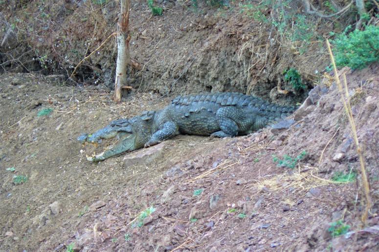 ranthambhore crocodile 1