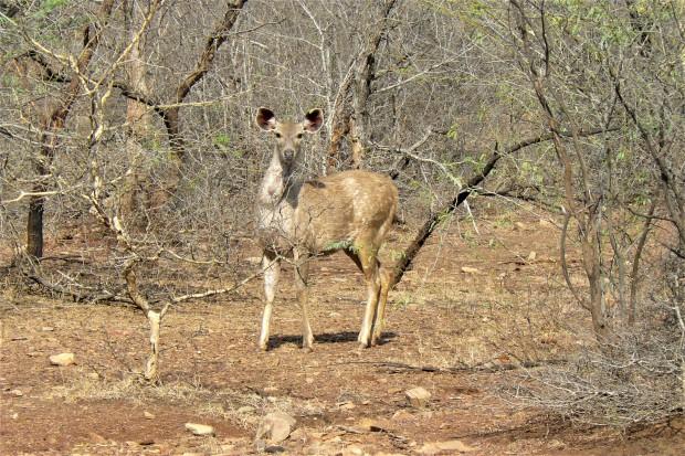 ranthambhore deer 2