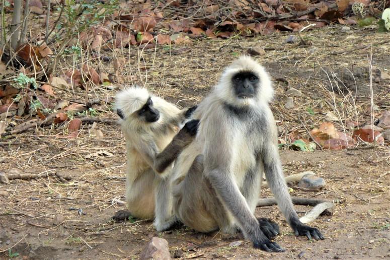 ranthambhore monkey 1.1