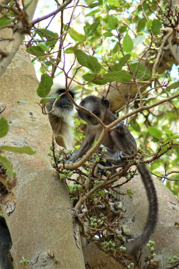 ranthambhore monkey 1