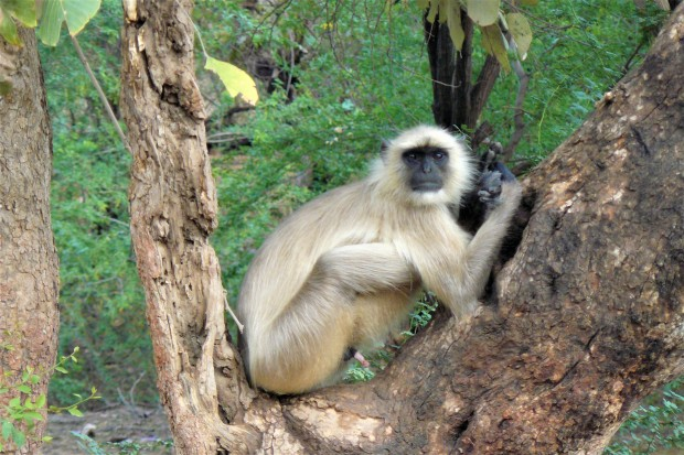 ranthambhore monkey 2