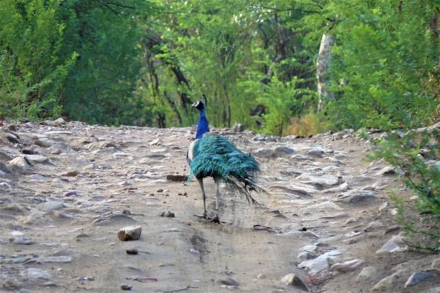 ranthambhore peacock 1