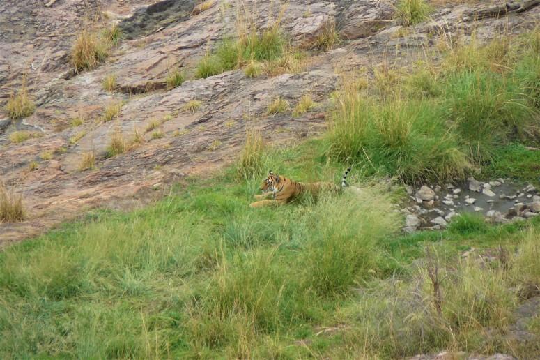 ranthambhore tiger 1