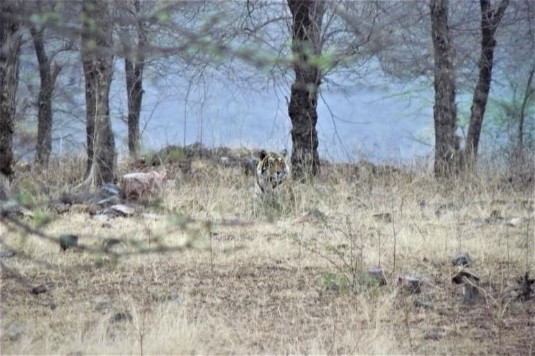 ranthambhore tiger 2