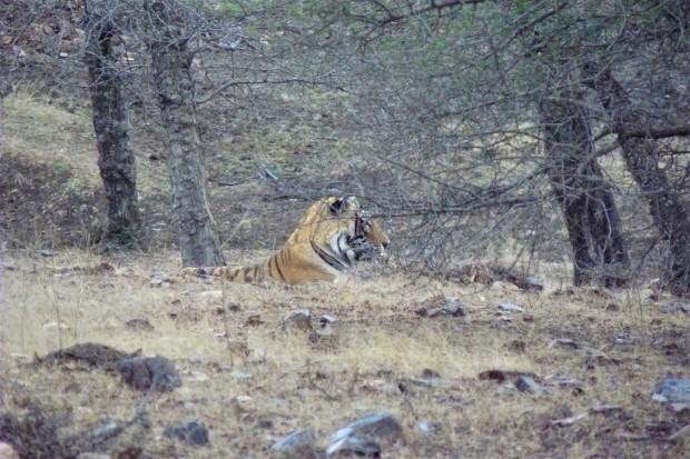 ranthambhore tiger 4