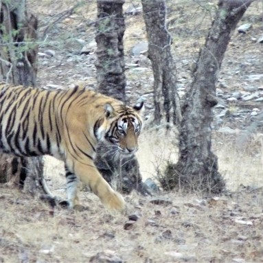 tigers in india