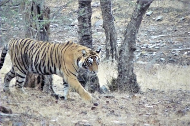 ranthambhore tiger 5