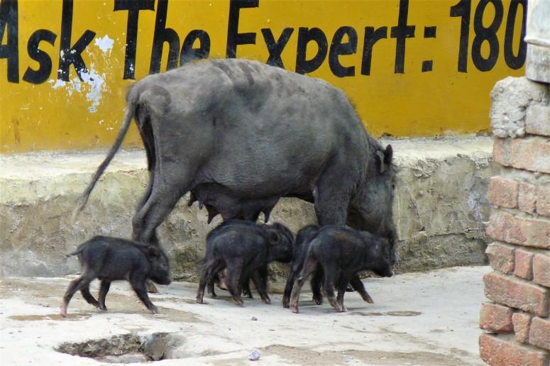 ranthambhore warthog 1