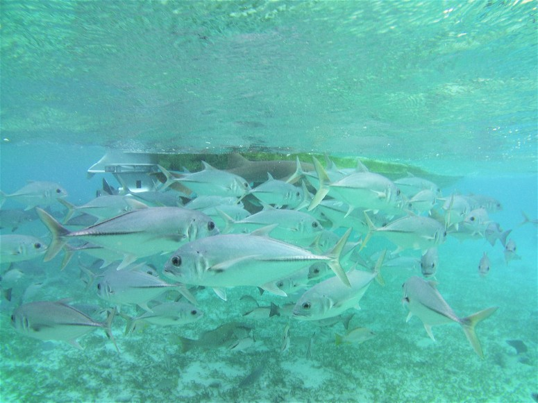 Belize San Pedro Shark Ray Alley 2